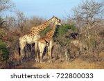 southern african giraffe in the ...   Shutterstock . vector #722800033