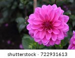 Small photo of pink dahlia flower vicus beda in flower
