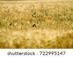 small birds in rye | Shutterstock . vector #722995147