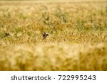small birds in rye | Shutterstock . vector #722995243