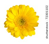 Yellow Gerbera Daisy Blossom...