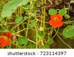 Ripened Seeds Of Nasturtium....
