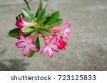 Small photo of Adenium flower. Adenium multiflorum. Desert Rose