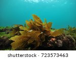 Small photo of Small frond of brown kelp Ecklonia radiata on flat rock covered with short algae.
