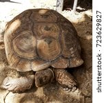 Small photo of Sulcata tortoise, African spurred tortoise
