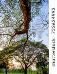Small photo of Albizia lebbeck(Siris tree,Woman's tongue,Mimosa lebbeck) tree and evening sky