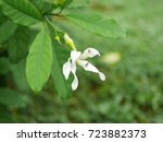 Small photo of Tabernaemontana sananho, Bonafousia sanango