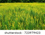 beautiful yellow flowers in a... | Shutterstock . vector #723979423