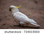 Australian Cockatoo With White...
