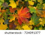 leaf fall. bright maple leaves. ...   Shutterstock . vector #724091377