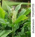 Small photo of Alpinia galanga is a herbaceous plant that lasts many years. The trunk down the head underground.