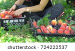 female hand picking peaches... | Shutterstock . vector #724222537