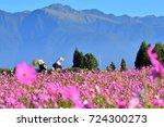 chrysanthemum field with...   Shutterstock . vector #724300273