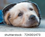 golden retriever dog puppy in... | Shutterstock . vector #724301473