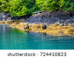 grizzly bear in the great bear... | Shutterstock . vector #724410823