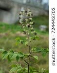 Small photo of Aralia continentalis