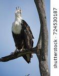 Small photo of African Fish Eagle, Haliaeetus vocifer, perched in tree, Masai Mara Game Reserve, Kenya, Africa