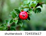 Colorful Red Cotoneaster Bush...