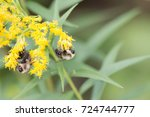 Bumble Bees On Golden Rod