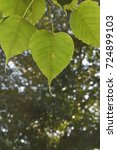Small photo of Fig leave, Bodhi leave (Ficus religiosa)