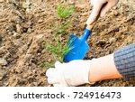 seedlings  pine seedlings in... | Shutterstock . vector #724916473