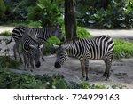 zebra in singapore zoo | Shutterstock . vector #724929163