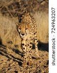 Small photo of Cheetah in the african bush, namibia, (acinonyx jubatus)