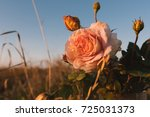 flower pink rose in a crystal... | Shutterstock . vector #725031373