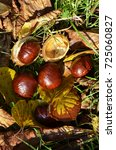 Small photo of Chestnuts (Aesculus Hippocastanum) lying between grass and leaves at an autumn and sunny day