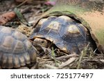 african spurred tortoise at... | Shutterstock . vector #725177497