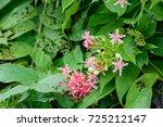 quisqualis indica  or ... | Shutterstock . vector #725212147