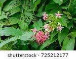 quisqualis indica  or ... | Shutterstock . vector #725212177