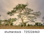 Fever Tree. An Acacia That...