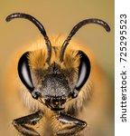 focus stacking   ivy bee  bee ... | Shutterstock . vector #725295523