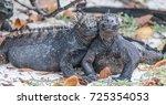 galapagos iguanas cuddling | Shutterstock . vector #725354053