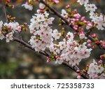 japanese cherry blossoms in... | Shutterstock . vector #725358733
