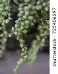 Small photo of Dischidia Plant