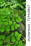 Small photo of Maidenhair fern or Adiantum in the other species from Thailand.