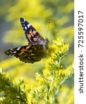 Small photo of An American Painted Lady butterfly rests on a bright yellow flower in the sunlight.