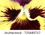 Purple And Yellow Pansy Macro...