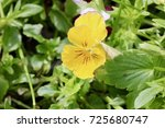 Yellow Pansy Surrounded By...