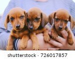 Stock photo dachshund puppy dachshund puppy portrait outdoors many cute dachshund puppy playing outdoor 726017857