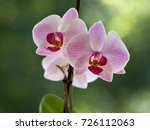 pink orchids on a blurred...   Shutterstock . vector #726112063