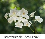 white orchids on a blurred...   Shutterstock . vector #726112093