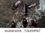 Small photo of American cockroaches gather in the sewer home to find food.