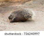 porcupine  hystrix cristata  | Shutterstock . vector #726240997