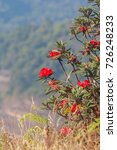 blooming of red rhododendron on ... | Shutterstock . vector #726248233