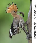 Small photo of Eurasian Hoopoe (Upupa epops) with mole cricket.