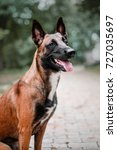 Small photo of Belgian Shepherd dog (Malinois dog) portrait