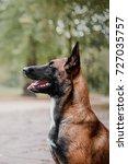 Small photo of Belgian Shepherd dog (Malinois dog) portrait
